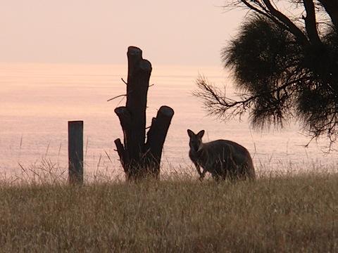 Wallaby watching