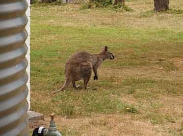 Wallaby near the water tank