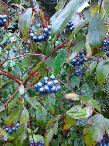 Pretty blue berries